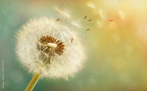 Spoed Foto op Canvas Paardenbloem Dandelion with flying seeds on a beautiful luminous background