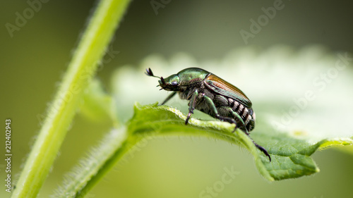 Fotografia A close-up of a small Japanese beetle standing alone on a green leafy plant