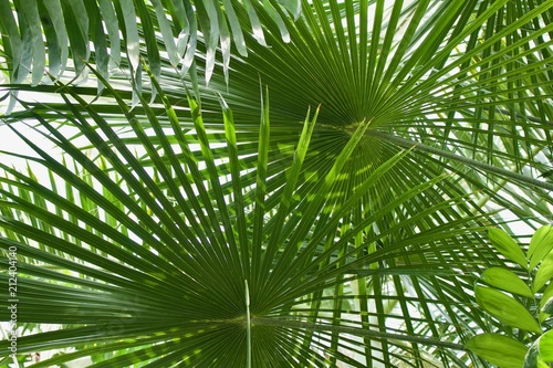 Ribbon Fan Palm Tree Background (Livistona decipiens) Canvas Print