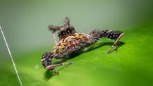 Macro Spider On Green Leaf