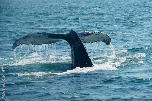 Fototapeta premium tail of humpback whale in the ocean during whale watch trip