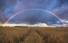 Rainbow Over The Field After A Morning Downpour