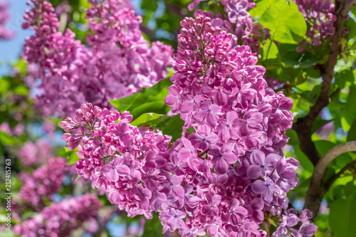 Foto op Aluminium Lilac lilac blossoms on branches