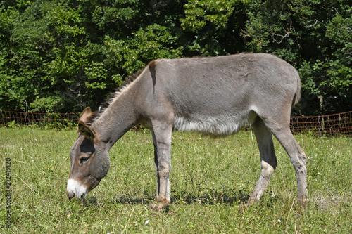 Recess Fitting Ass Hausesel (Equus asinus asinus) beweidet eine Naturschuttzfläche - Donkey
