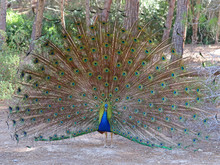 Beautiful Peacock With Open Feathers At Plaka Forest, Kos, Greece