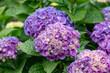 Blue Hydrangea flower (Hydrangea macrophylla) in a garden. Floral background.