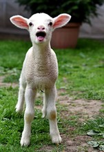 Baby Lamb Crying On A Farm