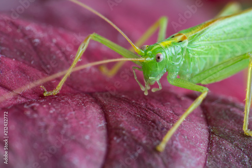 Foto op Aluminium Macrofotografie Great green grasshopper on red leave, macro