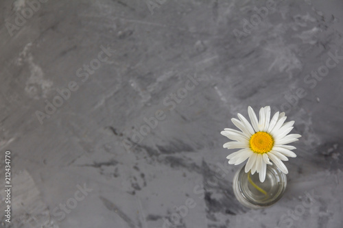 Foto op Canvas Madeliefjes one daisy on a gray concrete background. minimalism