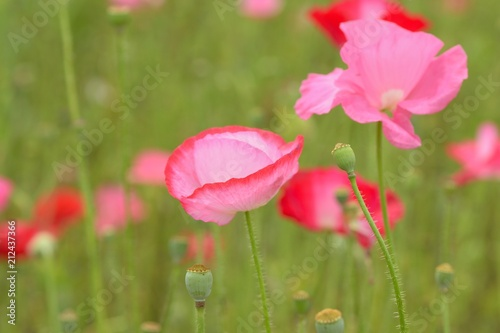 Fototapety, obrazy: Macro details of colorful poppy flower fields
