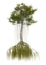 3D Rendering Mangrove Tree On ...