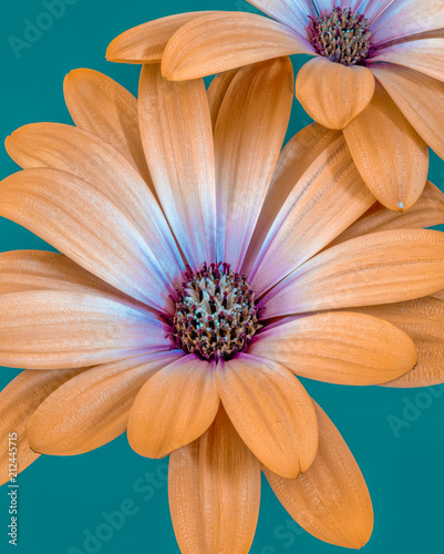 Foto op Aluminium Macrofotografie Fine art still life flower color macro image of isolated wide open orange magenta african cape daisy / marguerite blossoms on green background