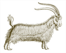 Shaggy Billy-goat With Erected...