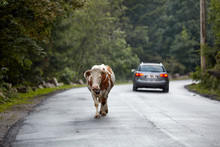 Portrait Of A Cow On The Road