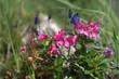 Alpenrose blühen