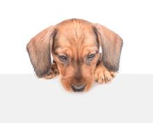 Dachshund Puppy Above White Ba...