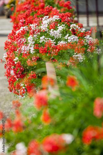 Géraniums à Saint-Hippolyte en Alsace, village alsacien fleuri