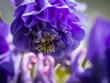 Leinwandbild Motiv Deatil of an Aquilegia (granny's bonnet, columbine) flower blooming in the spring
