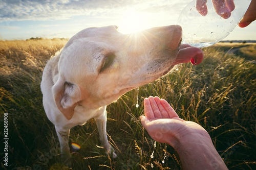 Fotomural Thirsty dog at sunset