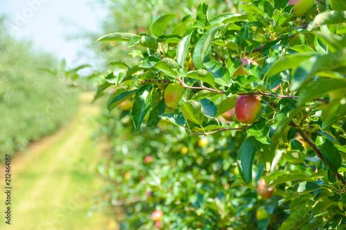 Fotografie, Obraz  Apfelplantage im Sommer