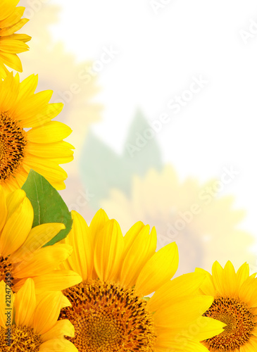 frame-of-sunflowers-on-a-white-background-background-with-copy-space