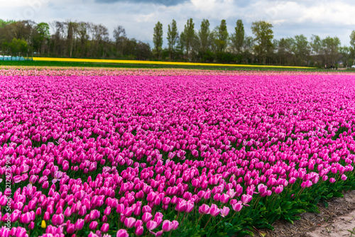 Deurstickers Roze Tulips flowers field
