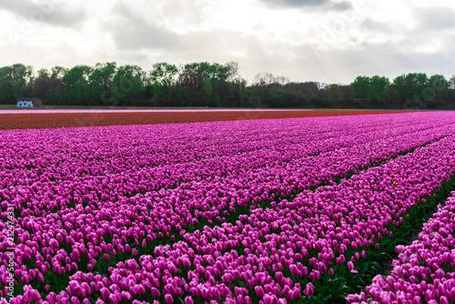 Spoed Fotobehang Roze field of tulips in netherlands