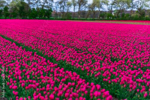Spoed Fotobehang Roze Amazing tulips field in Holland