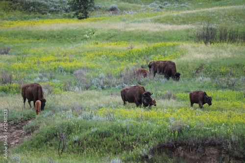 Aluminium Prints Family of bison in Theodore Roosevelt National PArk