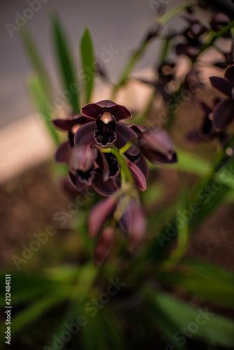 Fototapeta czekoladowa orchidea obraz