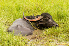 Indian Sacred Domestic Cow With Large Black And Red Horns Lying In A Swamp With Green Grass