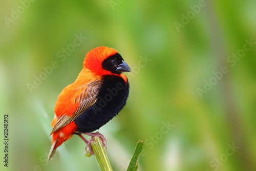 Fotomural The southern red bishop or red bishop (Euplectes orix) sitting on the branch with green background
