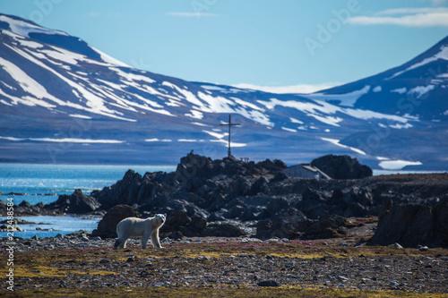 Polar bear in south Spitsbergen.