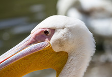 The White Pelican (Pelecanus Onocrotalus), Also Known As The Eastern White Pelican Or Rosy Pelican, Close-up