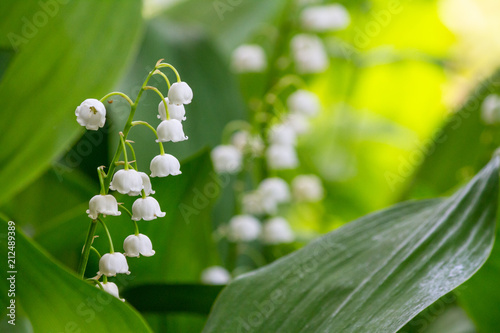 Staande foto Lelietje van dalen Lily of the valley (Convallaria majalis), blooming in the spring forest, close-up