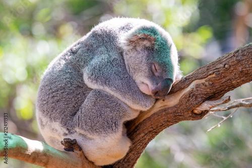 Poster Koala A cute koala in australia.