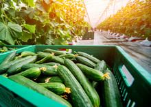 Long Green Cucumbers In A Boxes. Greenhouse.