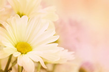 A Beautiful White Daisy With A Yellow Center And A Soft Focus Pink And Peach Colored Background With Plenty Of Room For Text Or Copy Space On The Right Side.