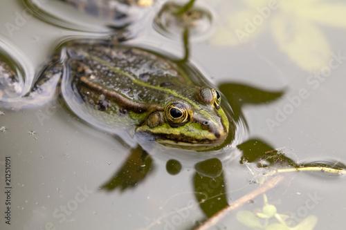 Tuinposter Kikker True frog in pond
