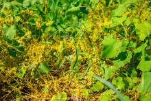 Dodder (Genus Cuscuta) Is Parasitic And Completely Dependent On Other Host Plants For Survival