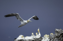 Gannet Flying Over A Nesting Colony On Bass Rock In The United Kingdom