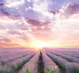 Sunset sky over a summer lavender field. Straight lines of lavender bushes.