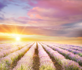 Obraz na Szkle Do jadalni Sunset sky over a violet lavender field in Provence, France. Lavender bushes landscape on evening light.