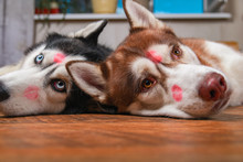 Husky Dogs With Red Lipstick M...