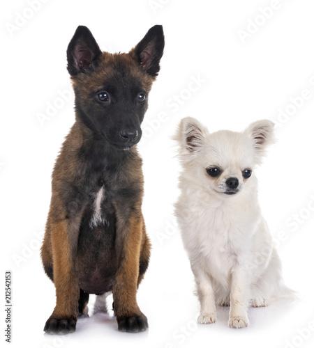 puppy belgian shepherd and chihuahua © cynoclub