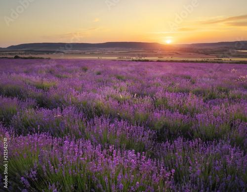 Fototapeta Meadow of lavender at sunset obraz na płótnie