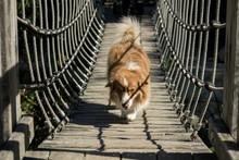 A Mini Australian Shepherd Is Running Over A Bridge