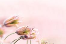 Pulsatilla Flowers In Pastel Colors, Broad Background