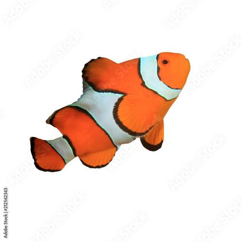Fotografia, Obraz Clownfish - Clown Anemonefish fish isolated on white background