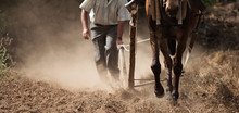 Farmer And Horse Plowing Farme...